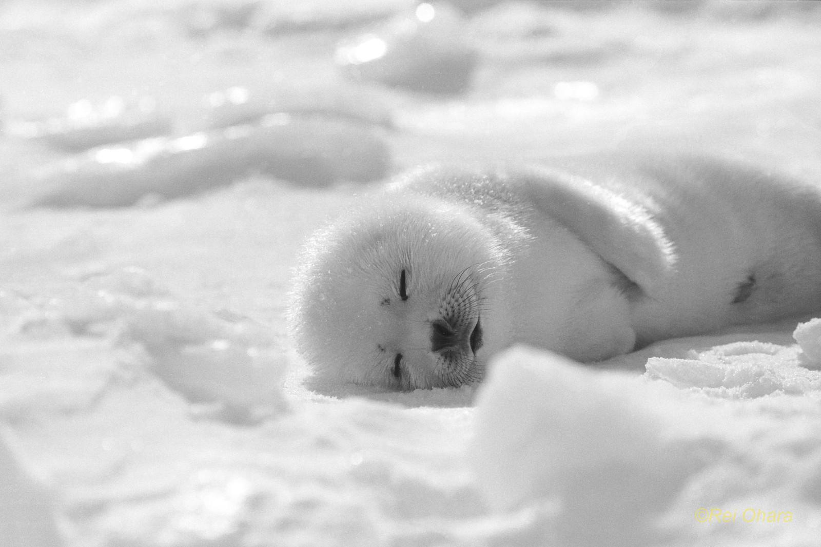 モノクロのアザラシ: 小原玲(動物写真家)のブログ